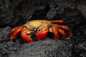 800px-Grapsus_grapsus_Galapagos_Islands