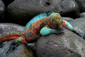 galapagos-islands-espanola-island-marine-iguana